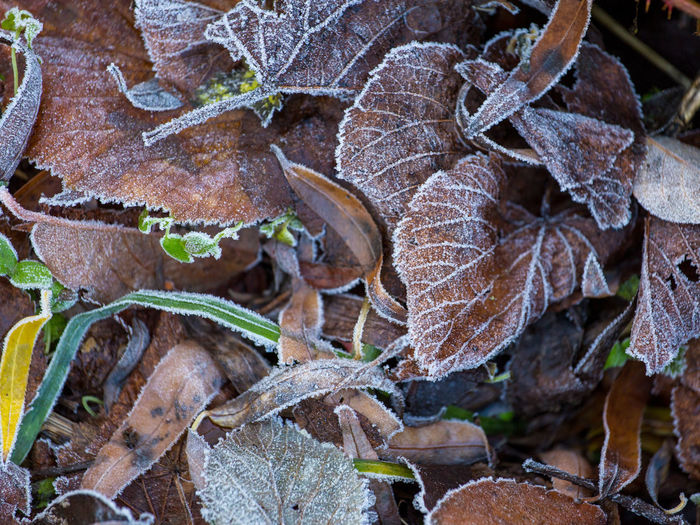 Close-up of autumn leaves in winter