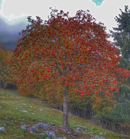 Red flowering trees on field against sky during autumn
