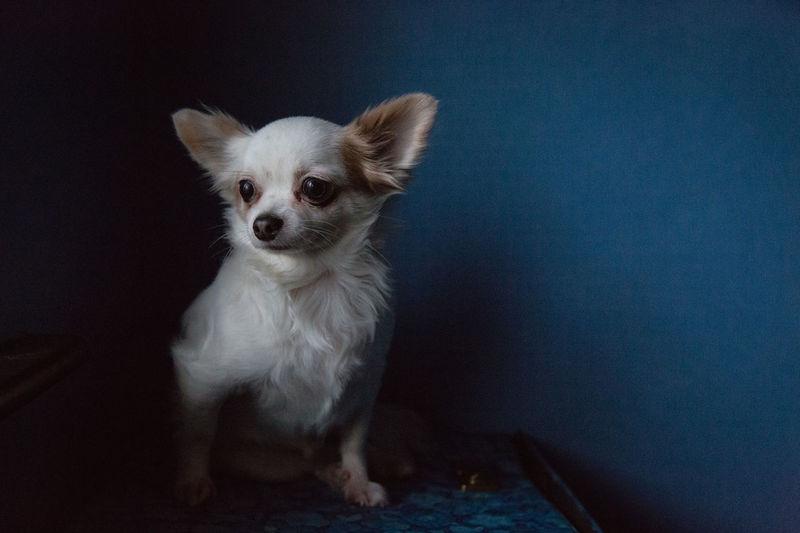 Big Man - Small Cute Pets Animal Themes Chihuahua Close-up Day Dog Domestic Animals Indoors  Mammal No People One Animal Pets Indoors