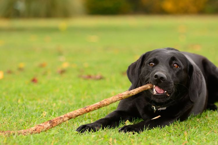 Close-up of black dog with stick in mouth sitting on grassy field