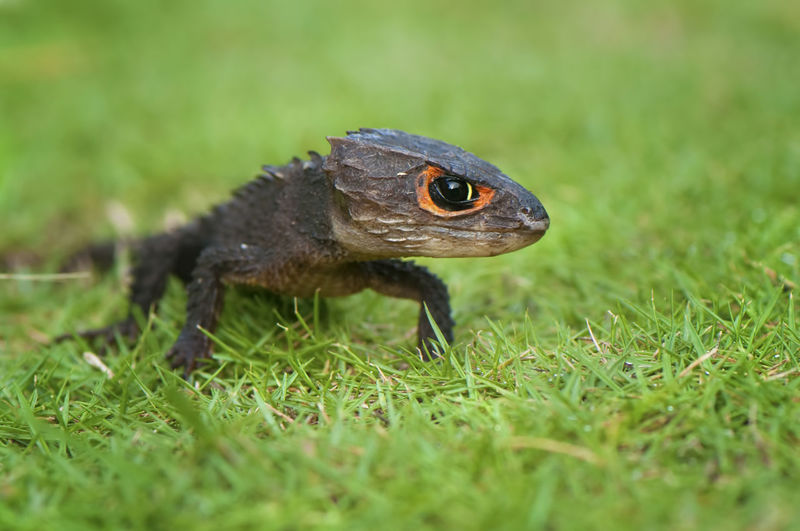 Close-up of skink on grass