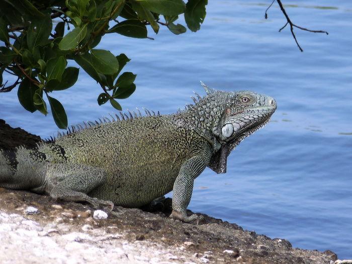 Iguana waiting and watching Animal Themes Animal Wildlife Animals In The Wild Day Iguana Leguan Nature No People One Animal Outdoors Sea Water