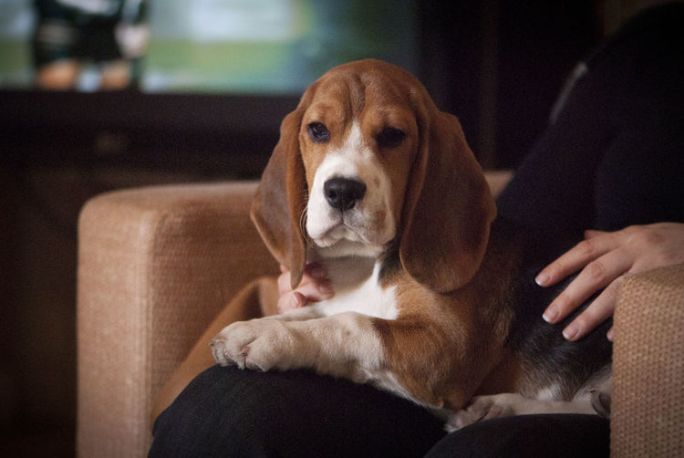 Portrait of beagle dog sitting on lap of woman at home