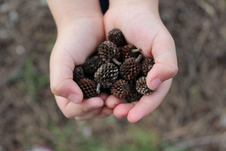Cropped hands of child holding pine cones on field