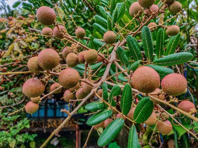 Longan Green Fruits Fruit Tree Juicy Fruit Nut - Food Close-up Food And Drink Growing