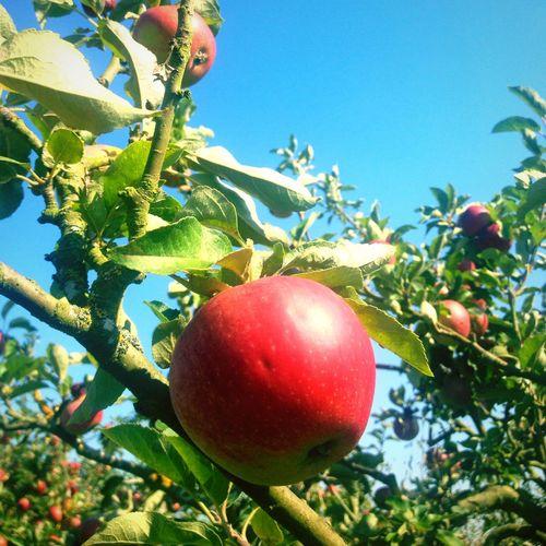 The benefits of living on a farm... Apple Tree Blue Sky