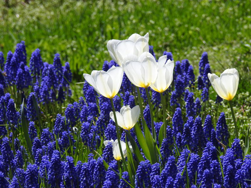 Beauty In Nature Blue And White Flowers Close-up Floral Photography Flower Flower Photography Flowers Fragility Freshness Garden Photography Grape Hyacinth Grape Hyacinths Muscari Muscari Nature Nature Photography Nature_collection No People Outdoors Purple Purple And White Flowers Signs Of Spring Spring Flowers Tulips And Muscari White Tulips