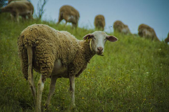 Andalucía Nature Antropologia Antropologiaehistoria Dehesa Etnología Ganadería Extensiva Jaen Province Linares Ovejas Pastores Pastores Sierra Segura Patrimonio Cultural Patrimonio Etnológico Sheep Sheeps Sheep🐑 Sierra Morena Trashumancia TrashumanciaJaén