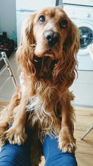 Dog Pets Domestic Animals One Animal Sitting Looking At Camera Human Leg Day Close-up Cockerspaniel Cocker Spaniel  Love ♥