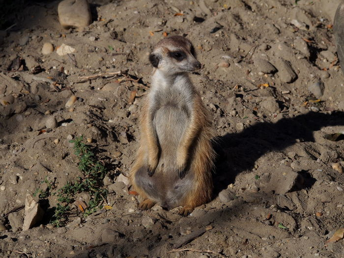 Zoo Animal Animal Themes Animal Wildlife Animals In The Wild Day Field High Angle View Land Looking Mammal Meerkat Nature No People One Animal Outdoors Rock Sitting Solid Sunlight Vertebrate Zoobudapest