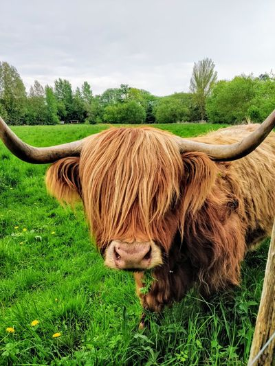 A cow with a cool haircut Beauty In Nature Outdoors Cool Attitude Muuu🐄 Cow Hairy  Hairstyle Hair Lazy Awesome Tree Field Sky Grass Farmland Farm Stalk Cultivated Land Grass Area Domestic Cattle Plantation Agriculture