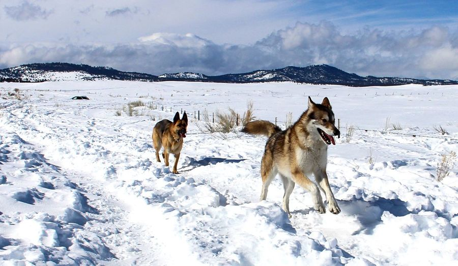 EyeEm Selects Snow Winter Running Dogs Dog Nature Domestic Animals Outdoors Mountain Frozen German Shepherd Wolf Wolf Dog Cold Temperature Running Wolves Weather Blue Sky Snowcapped Mountain No People Mammal Animals In The Wild Wildlife Wildlife & Nature Wildlife Photography Dogs Of EyeEm