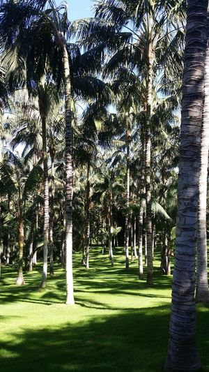 Palm Trees Tree Grass Green Color Scenics Pathway Calm Woods