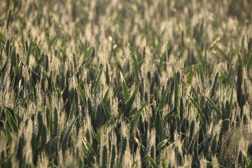 Cereal Plant Defocused Rural Scene Agriculture Field Wheat Summer Backgrounds Full Frame Close-up
