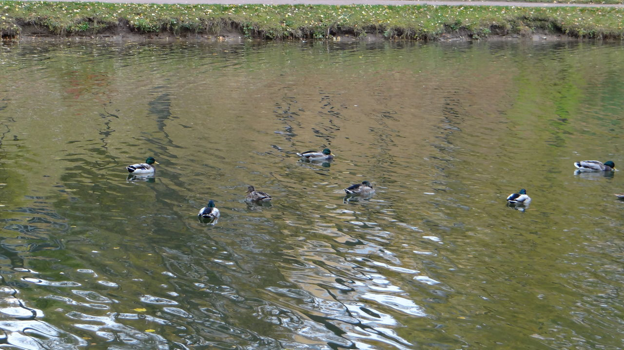 animals in the wild, animal themes, large group of animals, bird, animal wildlife, water, lake, nature, waterfront, reflection, day, duck, flock of birds, outdoors, no people, swimming, flying, beauty in nature