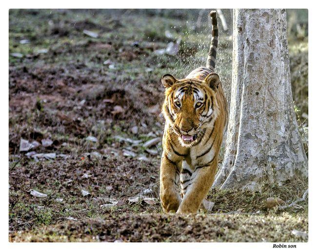 Tiger south