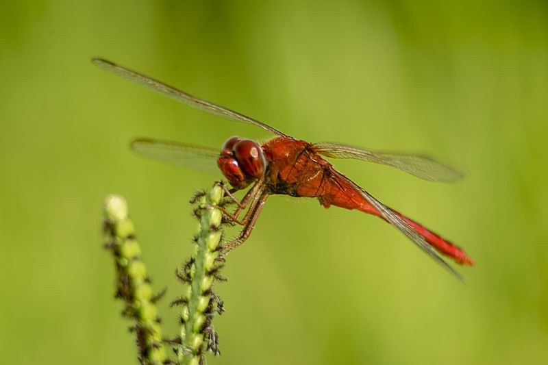 blood red dasher dragonfly Red Dasher Focus On Foreground Dragonfly Plant Nature No People Animal Body Part Outdoors Beauty In Nature Side View Focus On Foreground Dragonfly Plant Nature No People Animal Body Part Outdoors Beauty In Nature Side View Animals In The Wild Dragonfly Nature Plant Environment Macro Beauty In Nature Grass