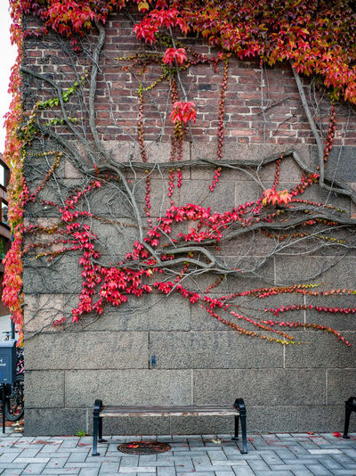 Red ivy on wall