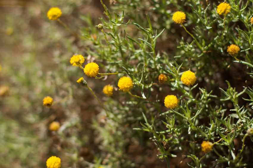 pom poms Blooming Bushes Day Flower Freshness Growth Nature No People Outdoors Plant Pom Pom Flower Summer Yellow