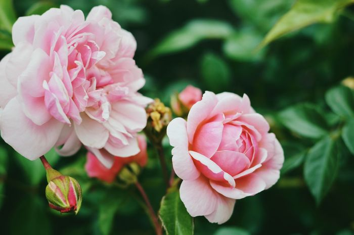 Rose Flower Petal Beauty In Nature Nature Fragility Pink Color Flower Head Freshness Growth No People Focus On Foreground Close-up Plant Blooming Outdoors Day Leaf EyeEm Best Shots VSCO Castle Grounds Garden Photography