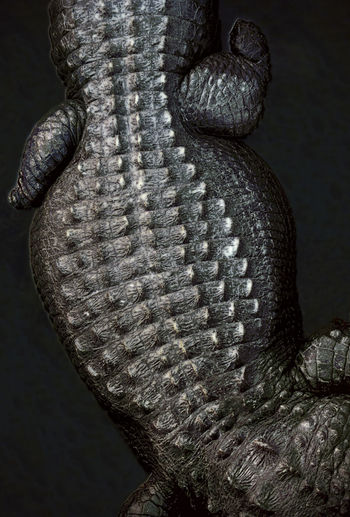 Alligator resting in a swamp. Alligator Alligator Skin Alligators Animal Representation Fine Art Photography Close-up Detail Directly Above Durable Enduring Firm Florida Longevity Natural Pattern No People Pattern Pattern Pieces Prehistoric Rigid Skin Solid Strong Swamp Textured  Tough