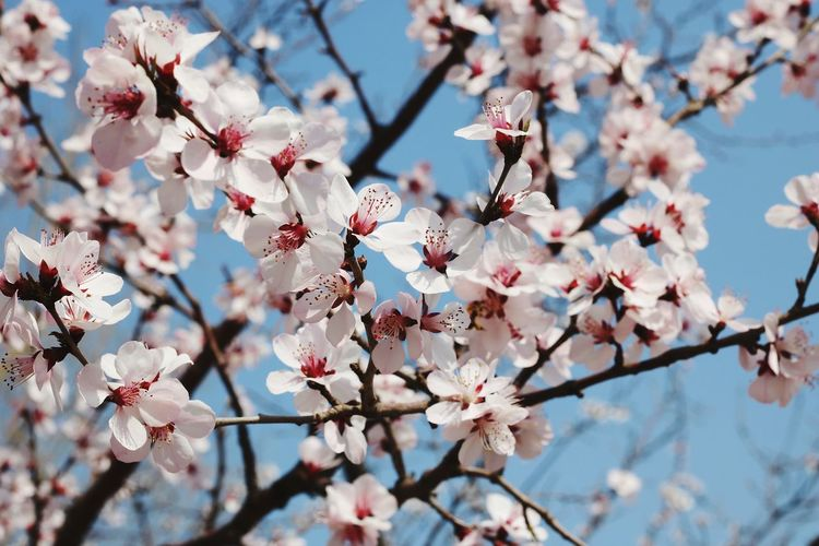 Low angle view of peach blossoms in spring