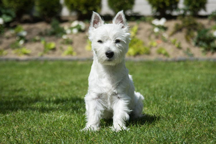 Domestic Dog Canine Domestic Animals Mammal Pets One Animal Animal Themes Animal Grass Plant White Color Portrait Focus On Foreground West Highland White Terrier Looking At Camera Vertebrate Day No People Nature Small Puppy Young Animal Racial Dog