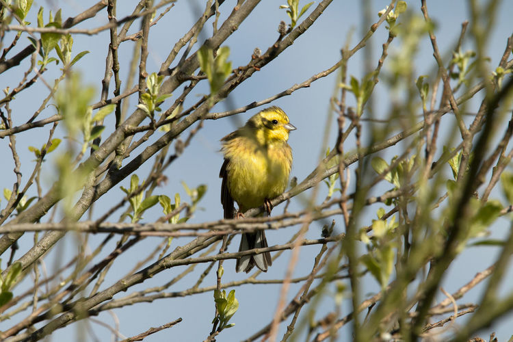 Natural Reserve Nature Photography Vogel Vogelkunde Animal Themes Animal Wildlife Animals In The Wild Beauty In Nature Bird Birds_collection Branch Close-up Day Goldammer Nature Nature_collection No People One Animal Ornithology  Outdoors Perching Tree Twig Yellowhammer