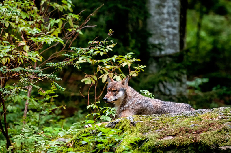 wolf in the Bavarian forest Autumn Colors Bavarian Forest Forest Green Middle Europe Forest Nature Nature Photography Wolf Wolf In Nature