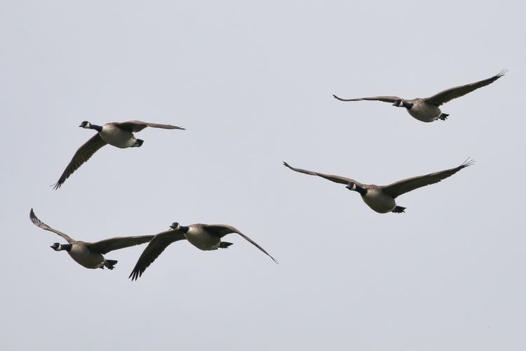 Canada geese flying against clear sky