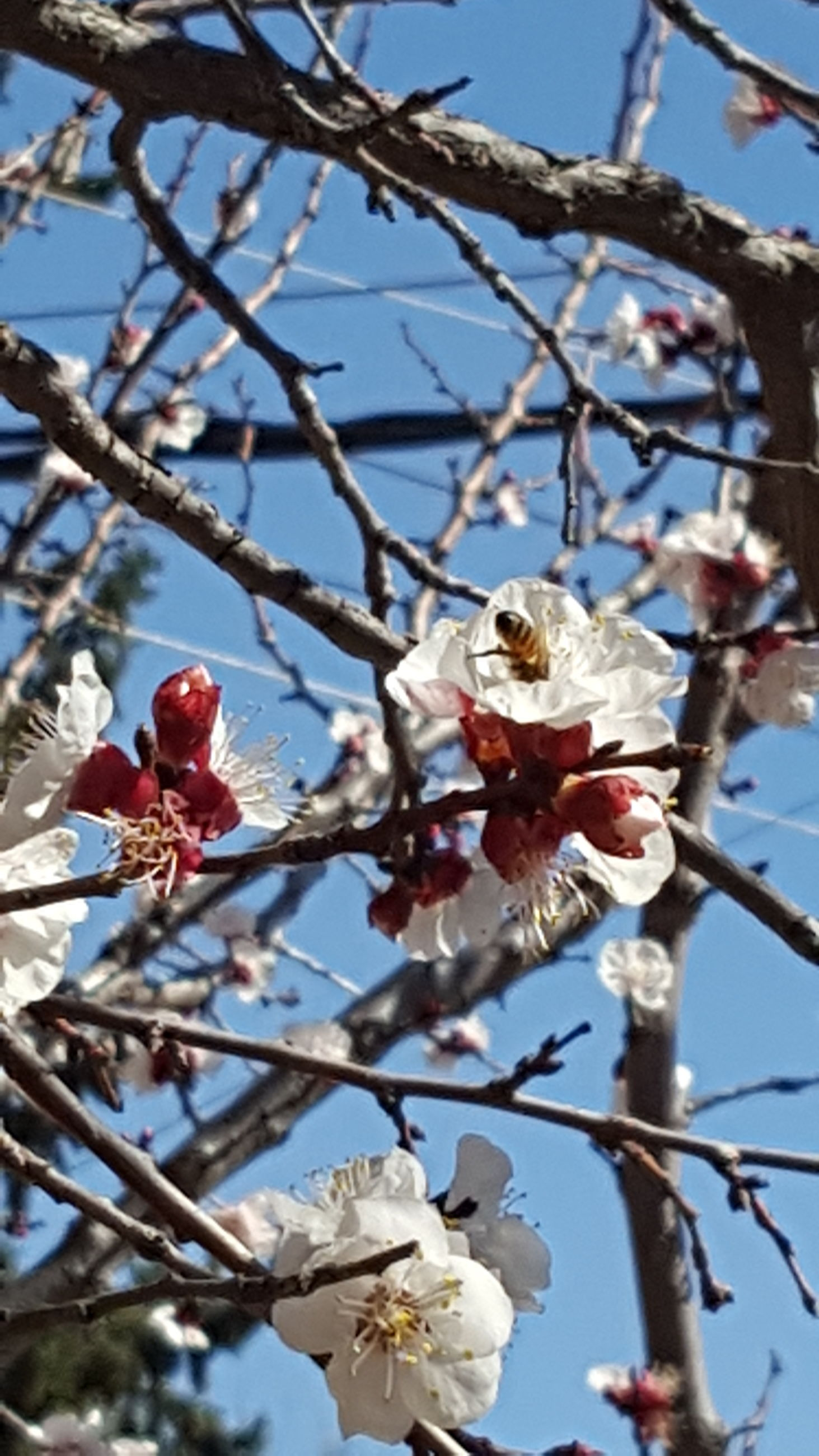 flower, tree, branch, low angle view, fragility, nature, beauty in nature, growth, day, blossom, springtime, freshness, white color, apple blossom, twig, outdoors, no people, plum blossom, petal, sky, close-up, clear sky, flower head