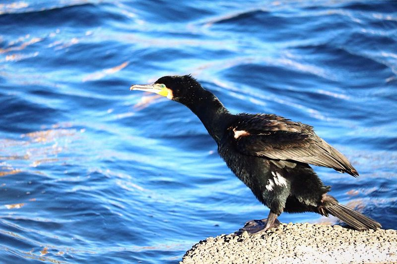 Side view of cormorant bird perching on rock against sea