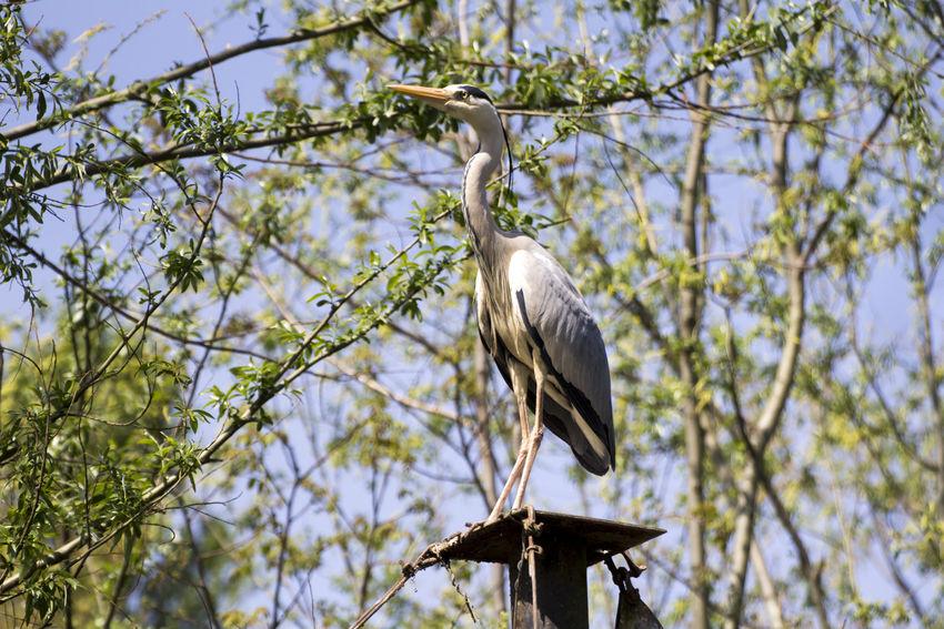 Grey heron Airone Cenerino Birdwatching Airone Ardea Cinerea Bird Grey Heron  Grey Heron On The River Shore Heron