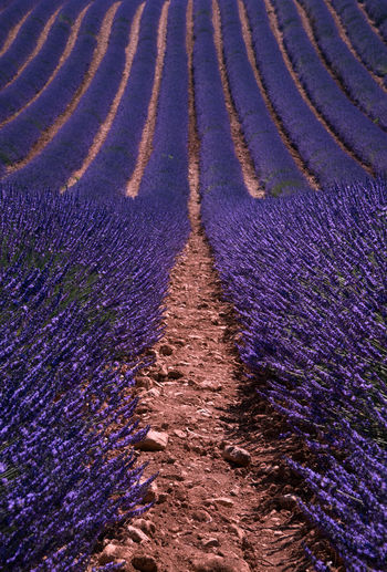 View of lavender flowers growing on field