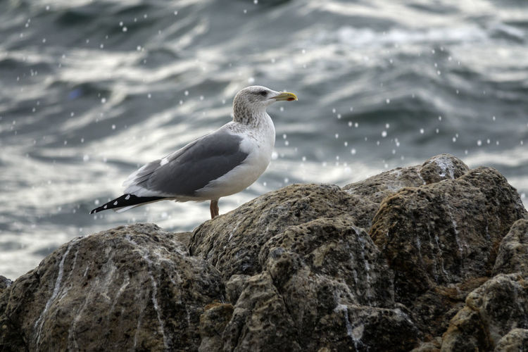 Seagull perching on rock formation by sea