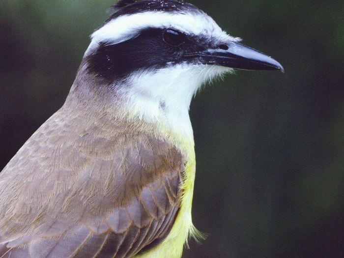 Brazilian bird Bird