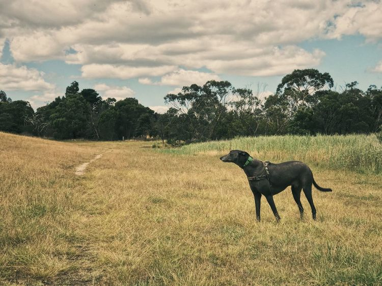 Greyhounds Greyhound Domestic Animals Cloud - Sky Mammal Field Animal Themes Sky Grass Tree Nature No People Outdoors Day Pets Beauty In Nature