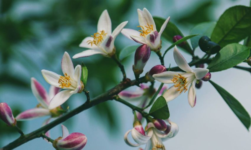 Lemon Tree Flower Collection Taking Photos Feeling Creative OpenEdit EyeEm Best Shots Freshness EyeEm Nature Lover Nature Flower Flower Head Branch Leaf Tree Blossom Close-up Plant In Bloom Blooming