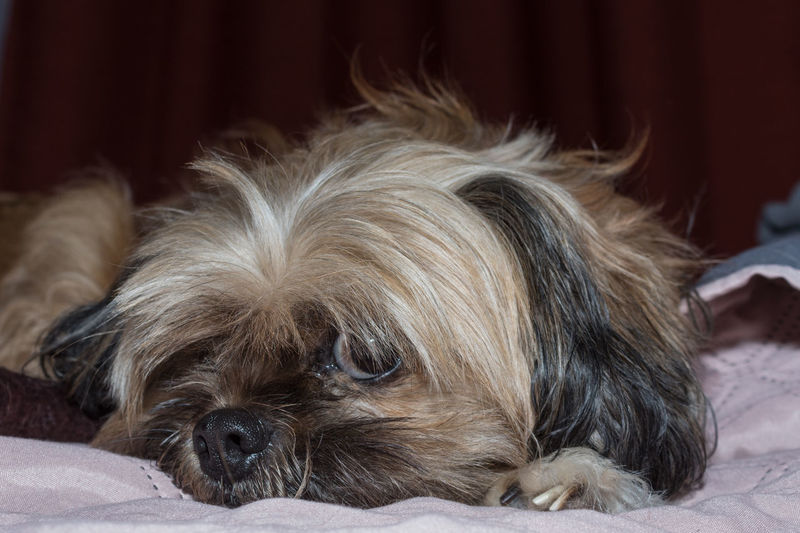 Perly posando Pets Portrait Dog Bed Looking At Camera Lying Down Close-up Shih Tzu