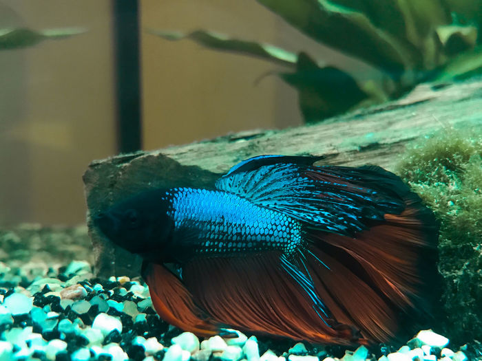 Fighting Fisch / Kampffisch Animal Themes Blue Close-up Fighting Fish Fish Nature No People One Animal