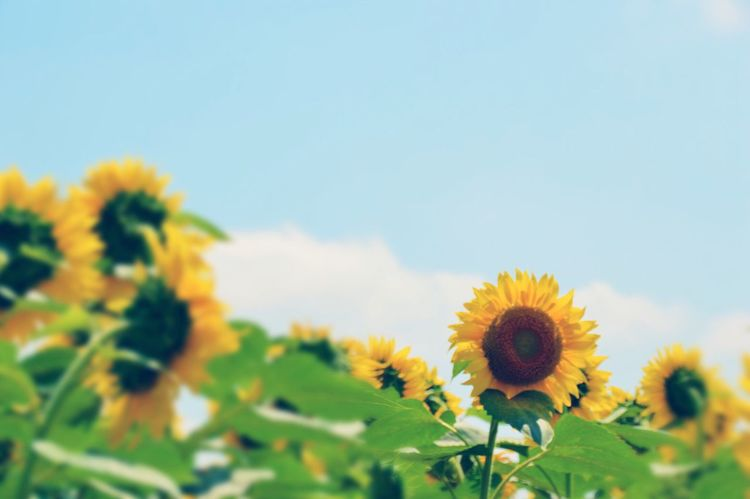 Sunflower Flower Yellow Flower Yellow Beautiful Nature Beauty In Nature Nature Photography Exceptional Photographs Focus On Foreground Cloud - Sky EyeEm Nature Lover Flowers Outdoors Warking Around Nikon D3200 The Week On Eyem みんなと同じは嫌😁🌻🌻