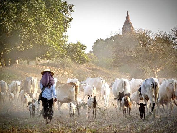 Burma Myanmar Bagan In Myanmar Travel Photography People ASIA Farm Life In The Field Untold Stories