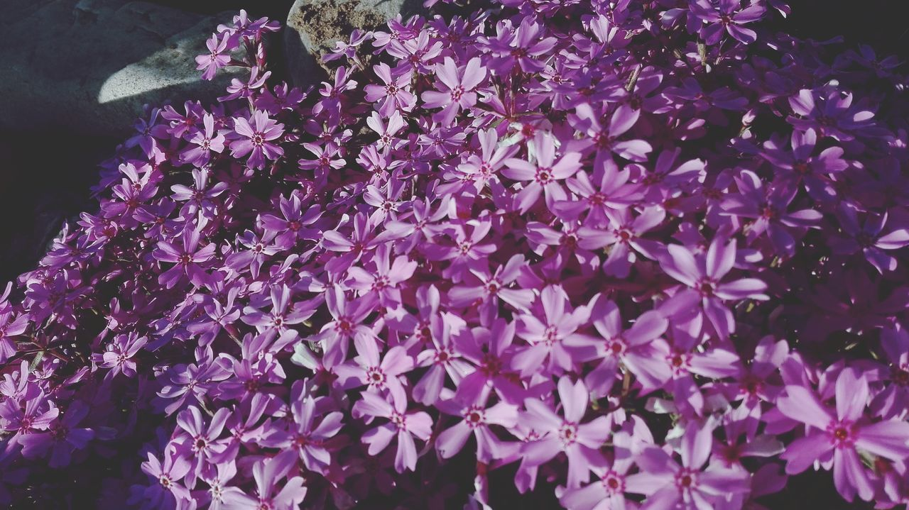 flower, purple, growth, fragility, beauty in nature, nature, petal, freshness, blossom, blooming, plant, no people, flower head, springtime, outdoors, scented, lilac, close-up, day