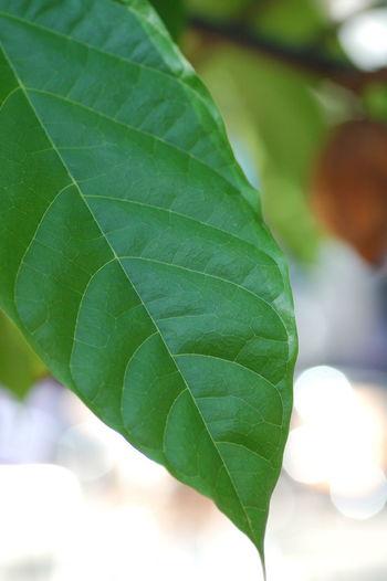 Cacao Plants 🌱 Nature 植物 Green Leaf カカオ 葉 Naturaleza Naturaleza🌾🌿 Naturaleza🌵🌻🎶