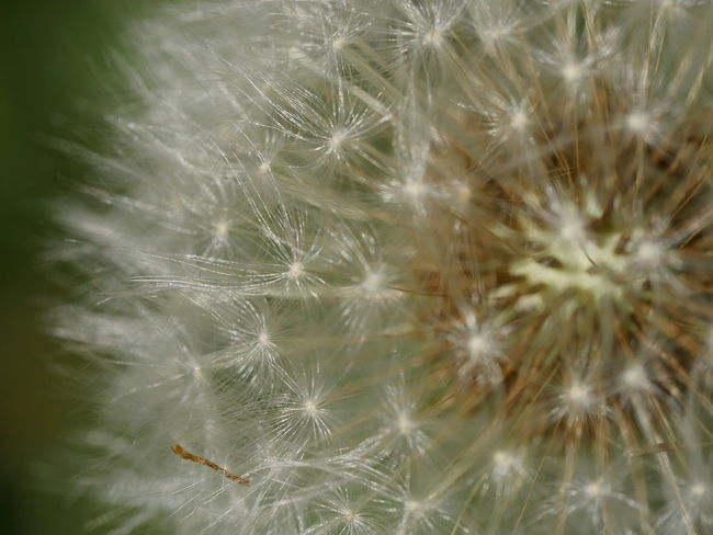 Dandelion Dandelion Seed Macro Nature No People Outdoors Pattern, Texture, Shape And Form Taking Photos Fragility Exceptional Photographs From My Point Of View Close-up Capture The Moment Perspective EyeEm Nature Lover Dandelion Seeds Close Up Macro Nature Flower Head