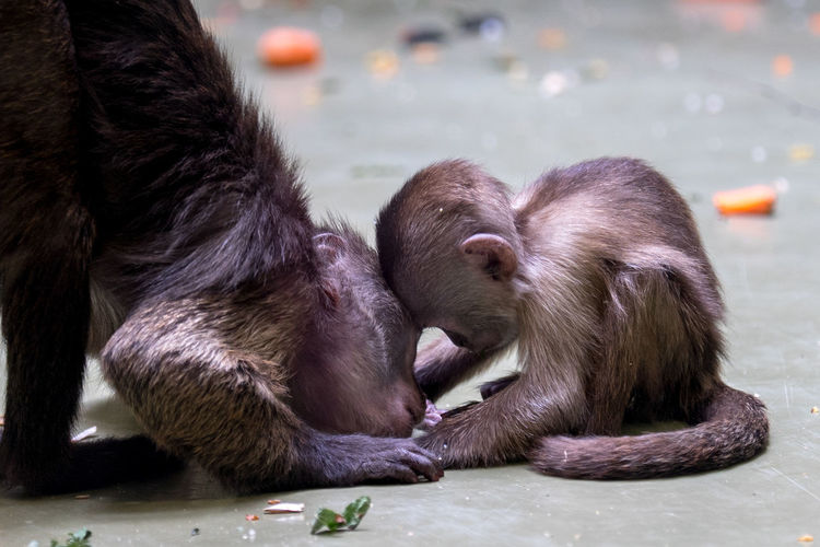Animal Animal Family Animal Themes Animal Wildlife Animals In The Wild Close-up Domestic Domestic Animals Eating Focus On Foreground Group Of Animals Mammal Monkey No People Pets Primate Relaxation Two Animals Vertebrate Zoo