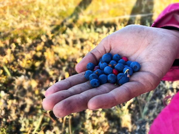Berry picking Autumn Arctic Alaska Blueberry Human Hand Hand Human Body Part One Person Real People Focus On Foreground Lifestyles Holding Food Food And Drink Leisure Activity Healthy Eating Close-up Berry Fruit Outdoors Body Part Finger Freshness Nature Day