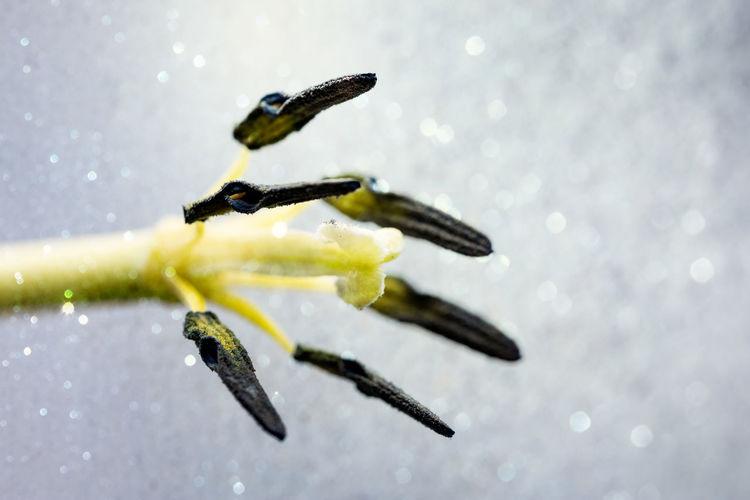 Close-up of tulip pistil and stamen