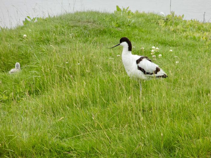Animal Wildlife Animals In The Wild Avocet Avocet Chick Avocet With Chick Beauty In Nature Bird Day Grass Green Color Nature No People Outdoors