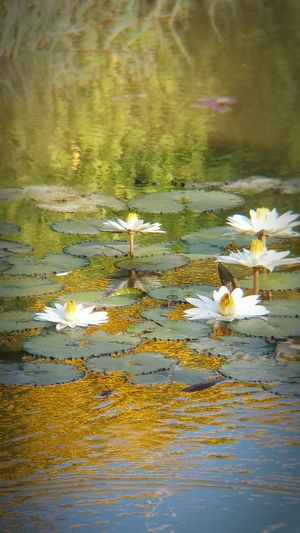 Beauty In Nature Day Flower Flowering Plant Lake Leaf Leaves No People Outdoors Plant Plant Part Reflection Water Water Lily